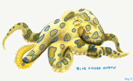 Greater Blue Ringed Octopus